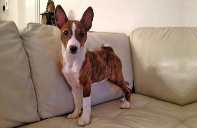 Brindle and white Basenji posing for a photo Photo by: fugzu https://creativecommons.org/licenses/by/2.0/