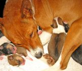 Mother Basenji With Her Pups Photo By: Fugzu Https://Creativecommons.org/Licenses/By/2.0/
