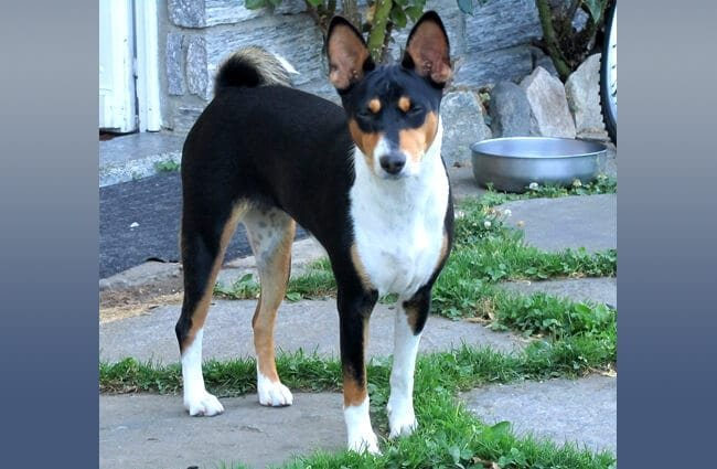 Black, tan, and white Basenji Photo by: fugzu https://creativecommons.org/licenses/by/2.0/