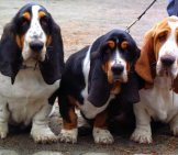 A Trio Of Beautiful Basset Hounds