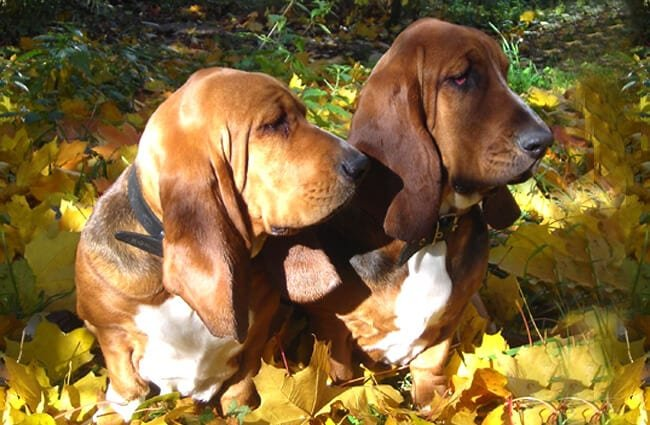Two young Basset Hounds