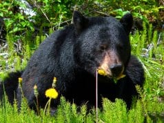 Black Bear browsing in the meadow.