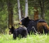 Mother Black Bear And Her Cub