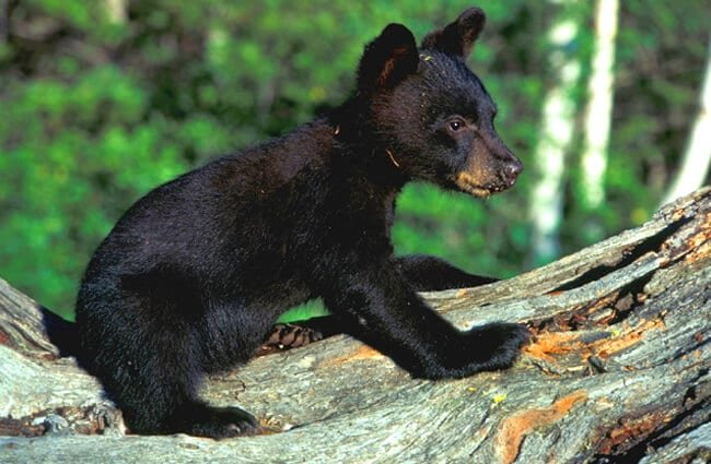 Black Bear cub on a fallen tree.