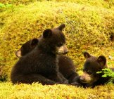 A Trio Of Black Bear Cubs