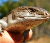 Closeup Of A Pet Blue Tongue Skink