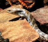Blue Tongue Skink On A Rock
