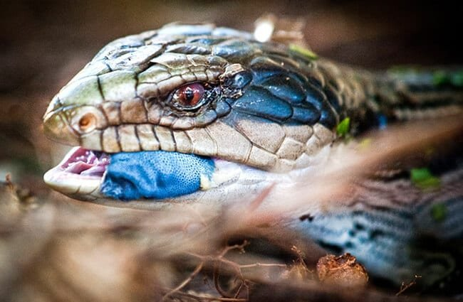 Beautiful blue coloring on a Blue Tongue Skink Photo by: phozographer https://creativecommons.org/licenses/by/2.0/