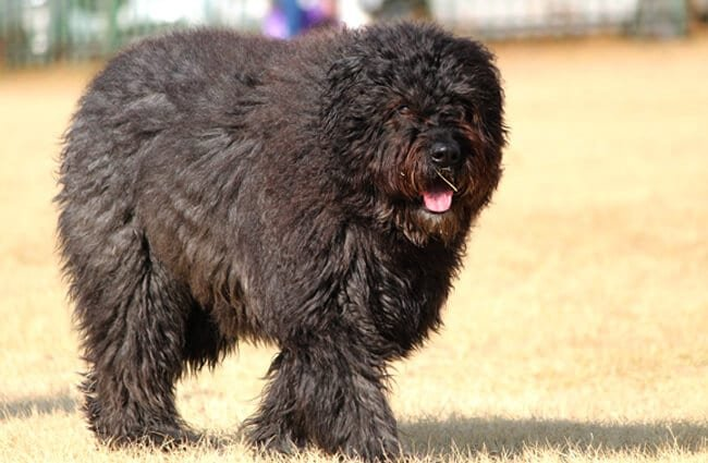 Large Bouvier des Flanders at the beach