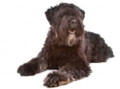 Portrait of a Bouvier des Flanders dogPhoto by: (c) ESIGHT www.fotosearch.com