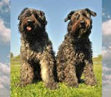 A Pair Of Bouvier Des Flanders Posing In The Yard Photo By: (C) Cynoclub Www.fotosearch.com