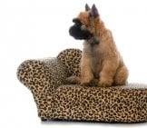 Bouvier Des Flanders Puppy On A Doggy Sofa Photo By: (C) Colecanstock Www.fotosearch.com