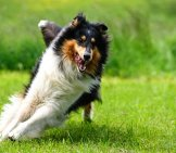 Nimble Collie Racing Around The Yard