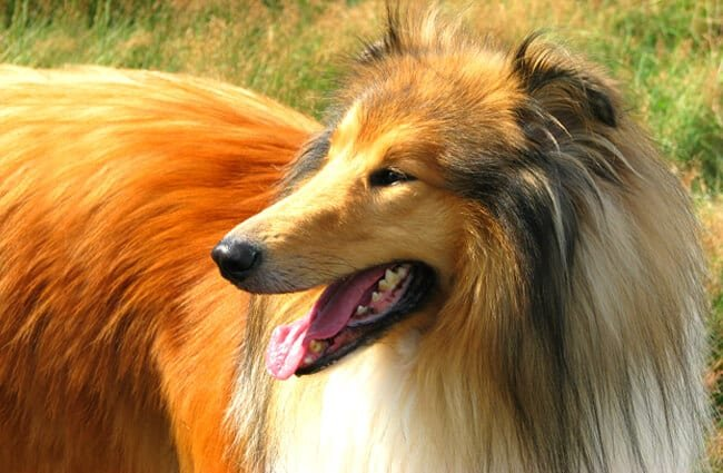 Stunning Collie