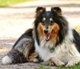 Collie Resting In The Shade