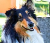 Closeup Of A Beautiful Collie