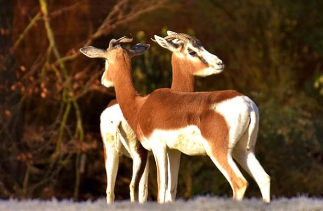 A pair of female Impala at the edge of the woods
