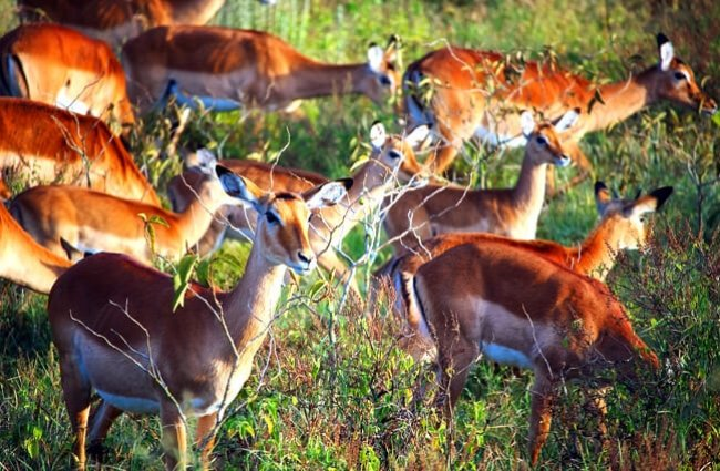 A herd of female Impala