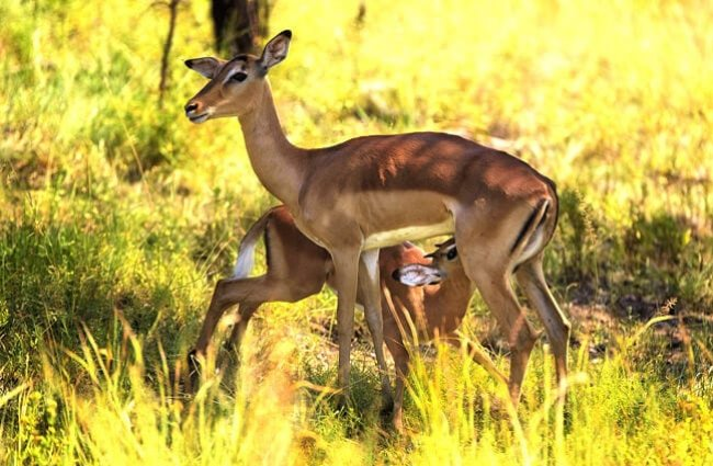Female Impala nursing her calf