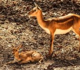 Mother Impala And Her Calf