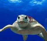 Loggerhead Turtle In Warm Waters
