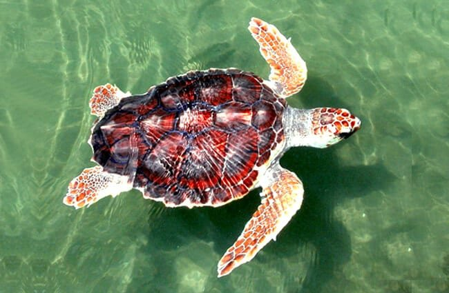 Colorful loggerhead turtle in shallow waters