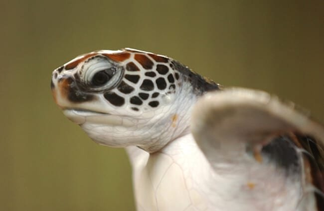 Closeup of a loggerhead turtle's head
