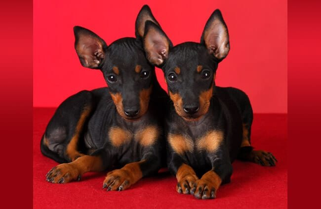 A pair of Manchester Terrier puppiesPhoto by: (c) Colecanstock www.fotosearch.com