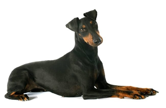 Portrait of a beautiful Manchester Terrier Photo by: (c) cynoclub www.fotosearch.com