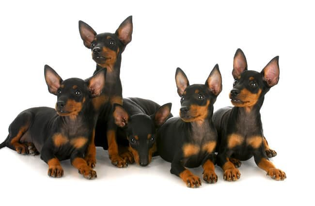 A passel of Manchester Terriers Photo by: (c) Colecanstock www.fotosearch.com
