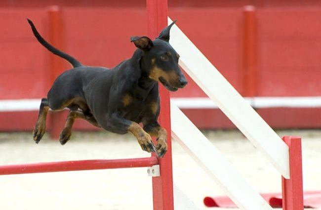 Manchester Terrier on the agility course Photo by: (c) cynoclub www.fotosearch.com