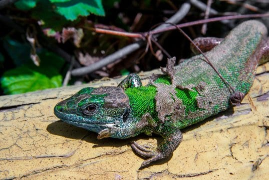 https://upload.wikimedia.org/wikipedia/commons/thumb/c/c5/Balcan_Green_Lizard_2.JPG/1280px-Balcan_Green_Lizard_2.JPG