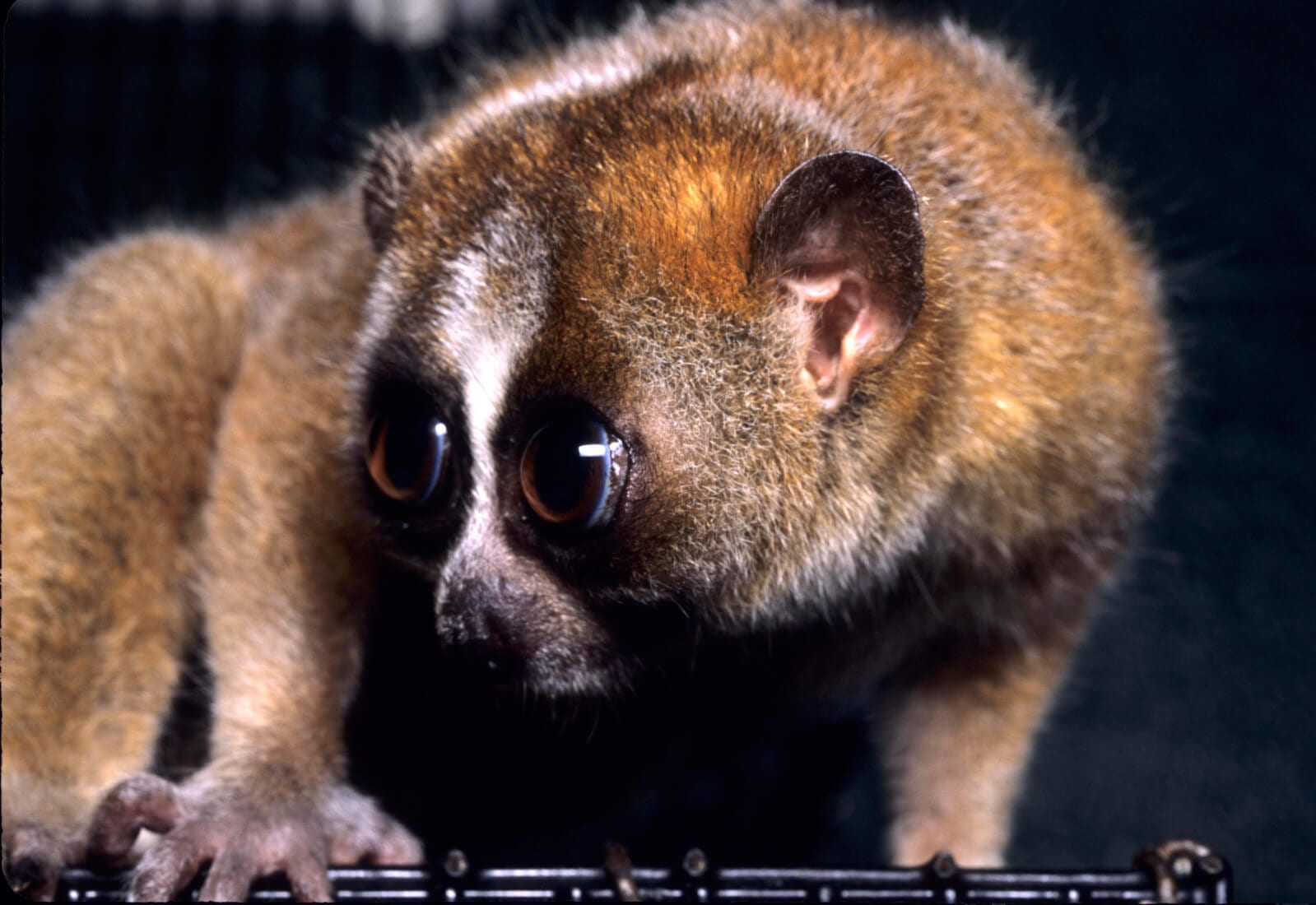 https://en.wikipedia.org/wiki/Slow_loris#/media/File:Nycticebus_pygmaeus_003.jpg