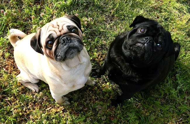 A pair of pugs posing in the yard