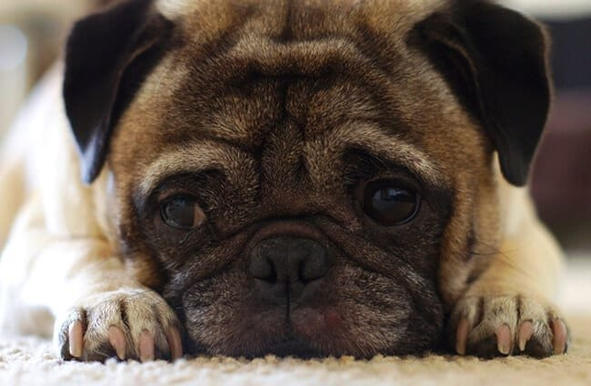 Closeup of a pug relaxing