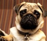 Cute Little Pug
