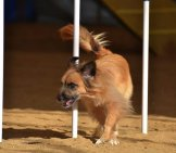 Pyrenean Shepherd Weaving Through Weave Poles Photo By: (C) Herreid Www.fotosearch.com