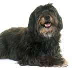 Black Pyrenean Shepherd Photo By: (C) Cynoclub Www.fotosearch.com