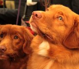 A Pair Of Nova Scotia Duck Tolling Retrievers
