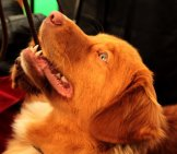 Beautiful Nova Scotia Duck Tolling Retriever