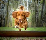Nova Scotia Duck Tolling Retriever Flying Over A Log Photo By: Dziambel //creativecommons.org/licenses/by-Sa/2.0/