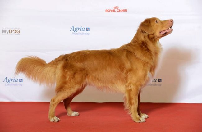 Nova Scotia Duck Tolling Retriever outside the show ring Photo by: Svenska Mässan //creativecommons.org/licenses/by-sa/2.0/