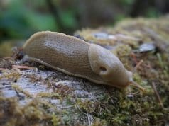 //pixabay.com/en/banana-slug-wilderness-nature-1765275/