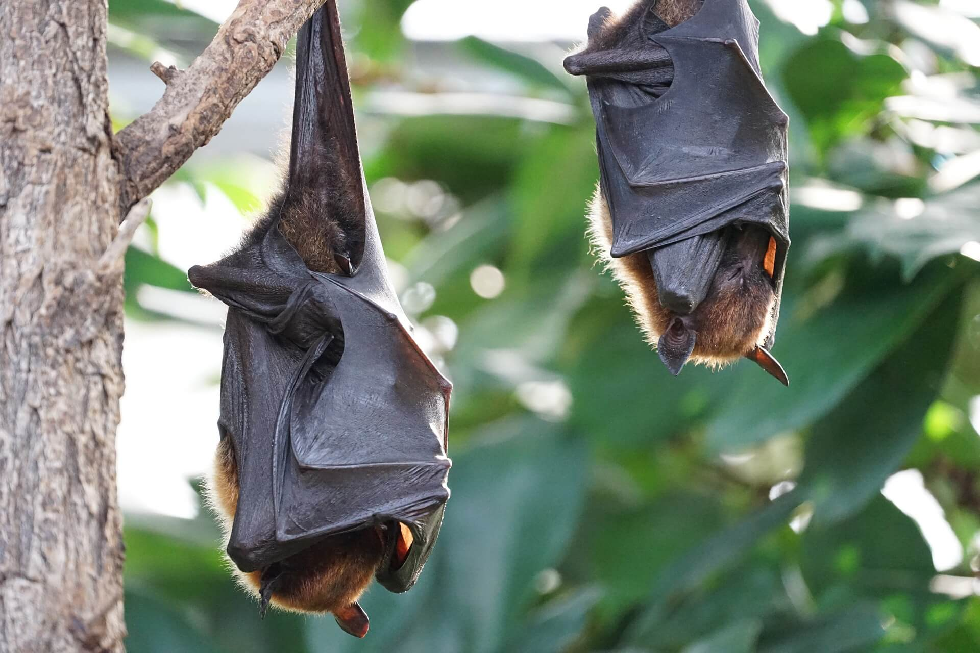 //pixabay.com/en/flying-foxes-bat-tropical-bat-2237209/