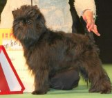 Affenpinscher In The Show Ring.photo By: Ger Dekkerhttps://creativecommons.org/licenses/by-Sa/2.0/