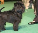 Portrait Of An Affenpinscher, At The Dog Show. Photo By: Ger Dekker Https://creativecommons.org/licenses/by-Sa/2.0/