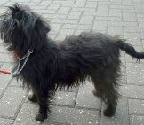 Affenpinscher In Profile. Notice The Monkey-Like Face.