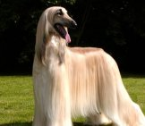 Portrait Of An Absolutely Stunning Afghan Hound, Groomed For Show