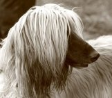Portrait Of A Stunning Afghan Hound Photo By: Elbereth Elflein Https://creativecommons.org/licenses/by/2.0/