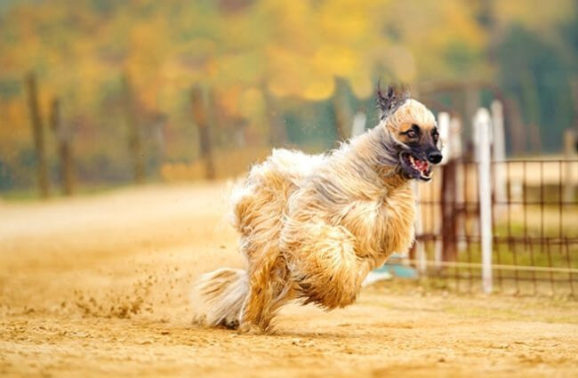Blonde Afghan Hound racing down a country road